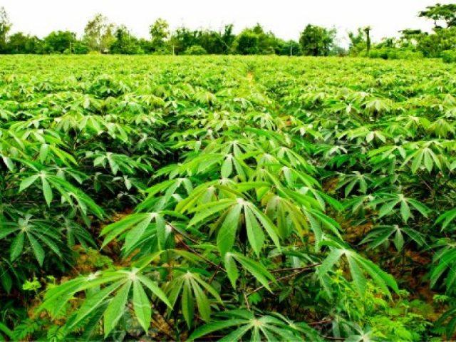 https://devafrique.com/wp-content/uploads/2019/04/Going-into-the-Cassava-Farming-Business-nigeria-640x480.jpg